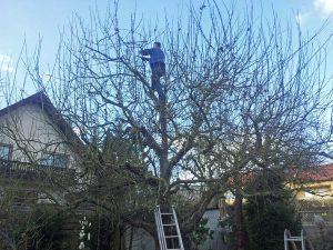 Baumschnitt fachgerecht