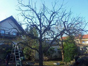 Obstbaumschnitt fachgerecht